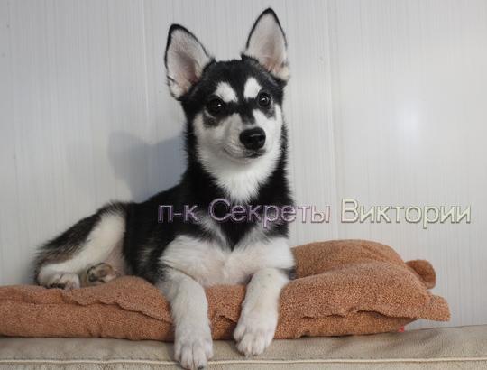 БАГИРА - щенок аляскинского кли кая