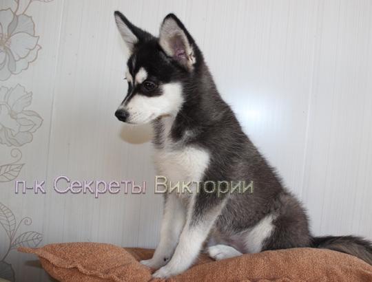 ЛОРД - щенок аляскинского кли кая