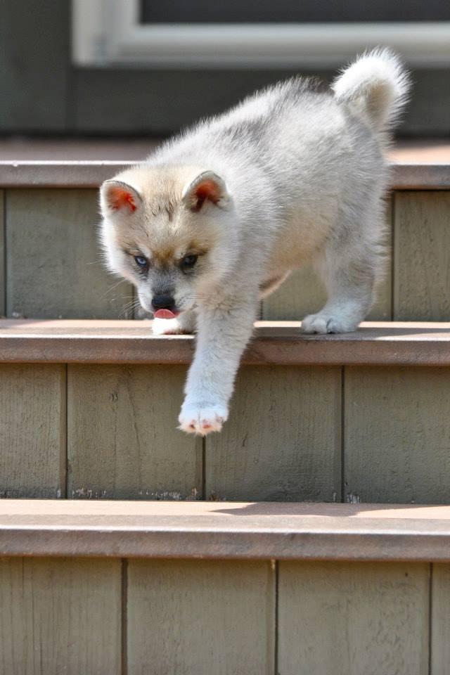 фото аляскинский кли кай питомник щенки