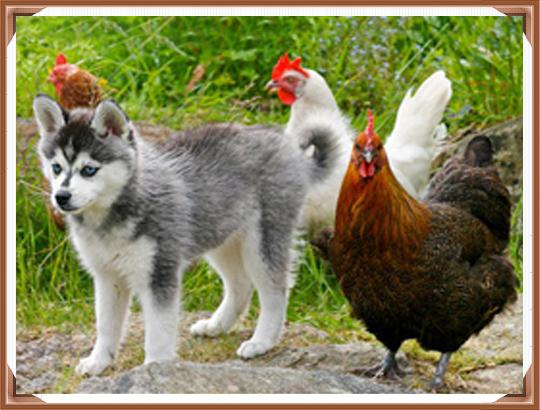 Аляскинский кли кай и другие животные