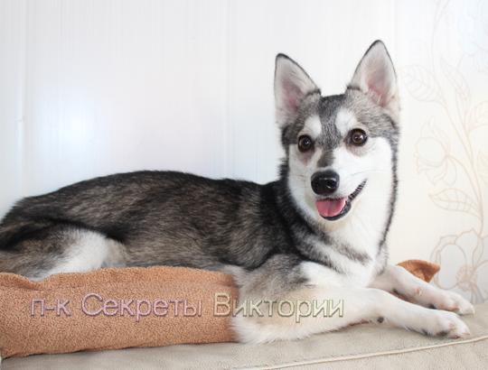 Цена щенка Аляскинского кли кая. Сколько стоит щенок Аляскинского кли кая 8-905-737-10-30
