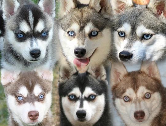 Голубые глаза аляскинского кли кая. Щенки. Секреты Виктории 8-905-737-10-30