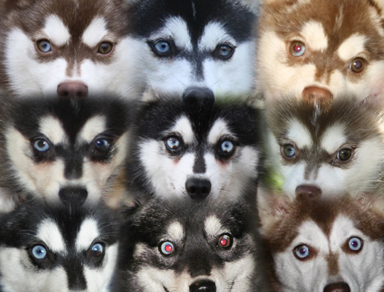 Частично разноокрашенные глаза аляскинского кли кая. Щенки. Секреты Виктории 8-905-737-10-30