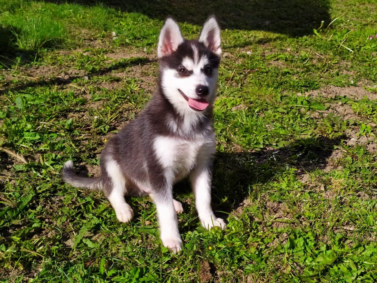 купить щенка Аляскинского кли кая 89057371030